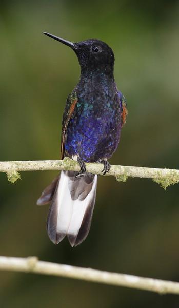 Velvet Purple Coronet Ecuador