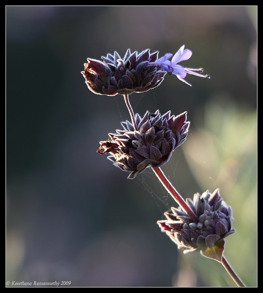 Common Phacelia, Famosa Slough, San Diego County, California, July 2009
