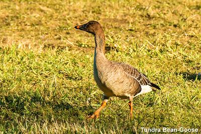 Tundra Bean-Goose, Nestucca Bay Wildlife Refuge OR, USA
