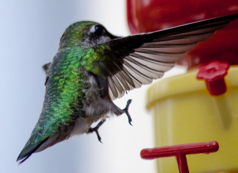 hummingbird 8162014a landing.jpg