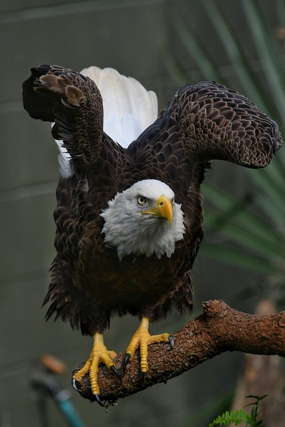 Bald Eagles