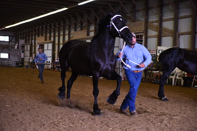 Percheron Yield Mare 4+