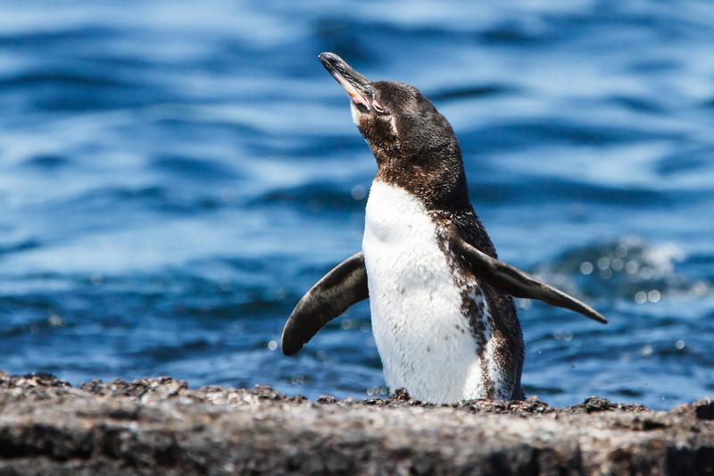 Galapagos Penguin at Punta Moreno, Isabela, Galapagos, Ecuador (11-23-2011) - 078.jpg