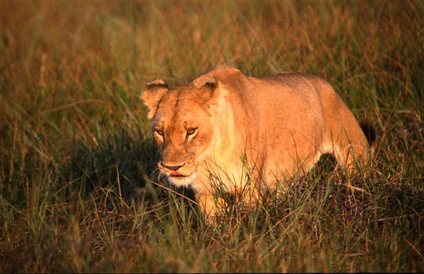 Female Lion 4