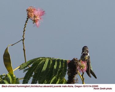 Black-chinned Hummingbird M22065.jpg