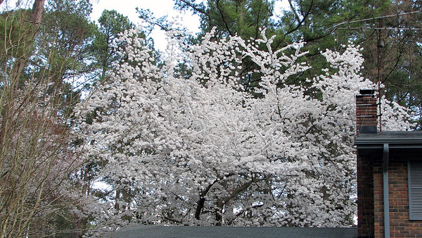 March 28:  The cherry tree looks great .  .  .