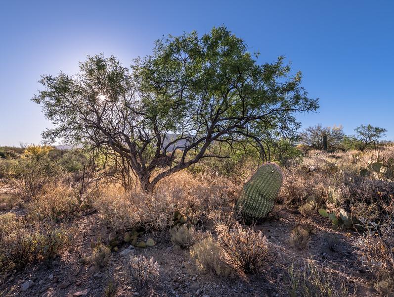 BR - Backlit Mesquite and Barrel Cactus