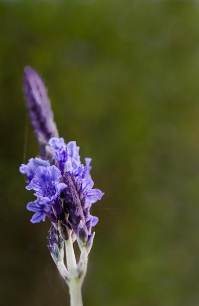 lavender dreams_fine art.tif