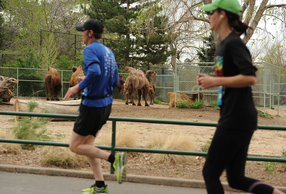 . Runners make their way through the Denver Zoo at around mile 3 of the Half Marathon course on May 19, 2013.  Runners ran past camels, elephants, monkeys, emus and even a rhinoceros during their mile through the zoo.   (Photo by Helen H. Richardson/The Denver Post)