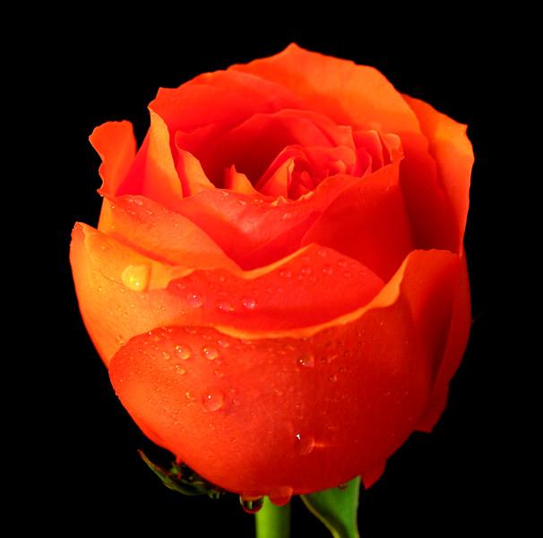 04-artg-a-flower-rose_1_20141019_1691416600.jpg