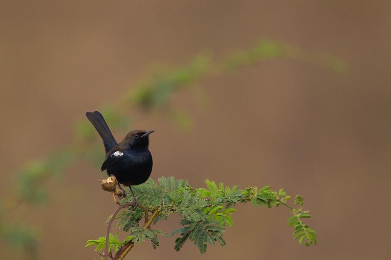 Indian Robin - Around Saiki Lake, Nagpur, India