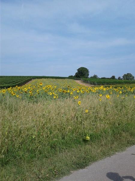 4-Sunflowers.jpg