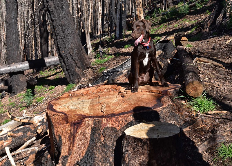 NEA_0345-7x5-Taz on big stump.jpg