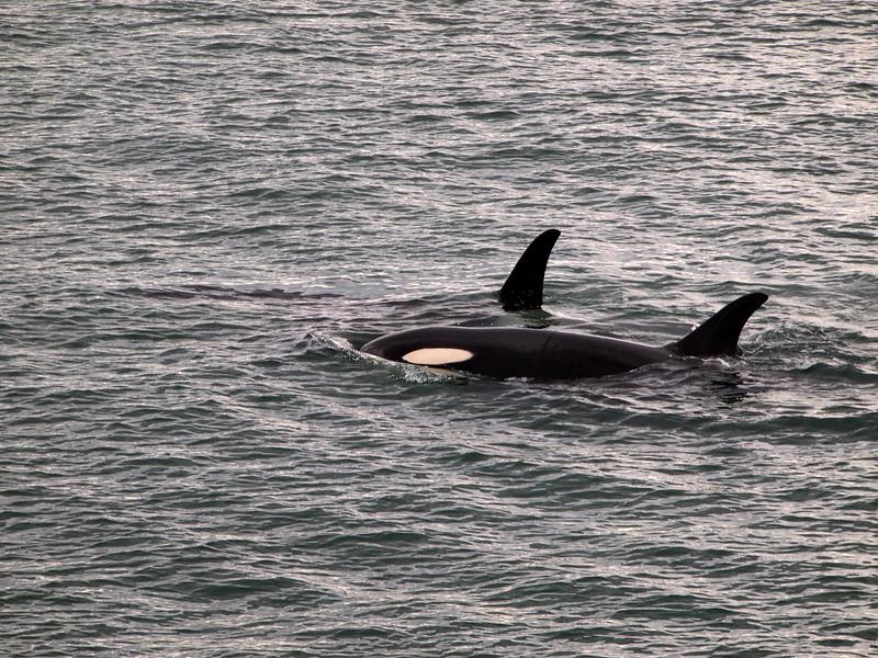 Orcas in Juneau, Alaska