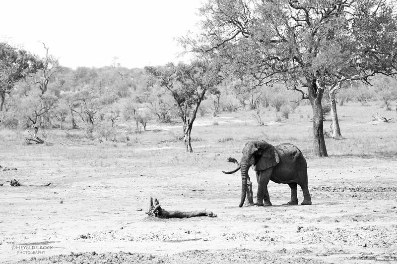Elephant, Kruger NP, SA, Sept 2015.jpg