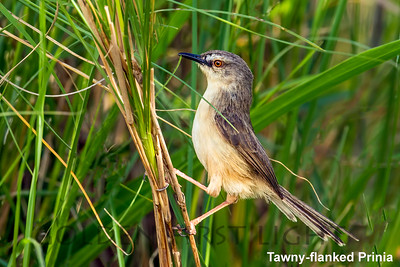Tawny-flanked Prinia, Kenya
