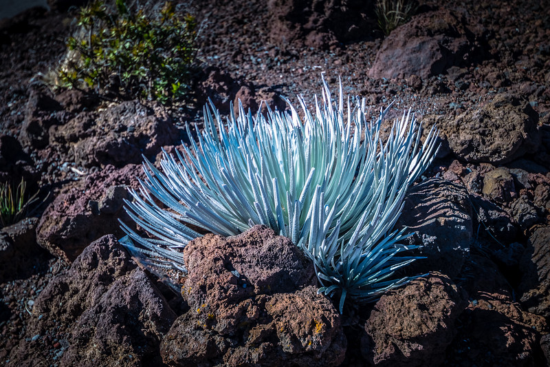 And in the lava rocks, this beautiful plant blooms