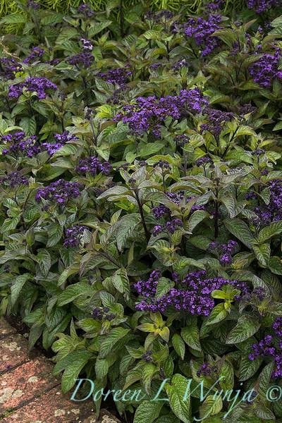 Heliotropium arborescens_7209.jpg