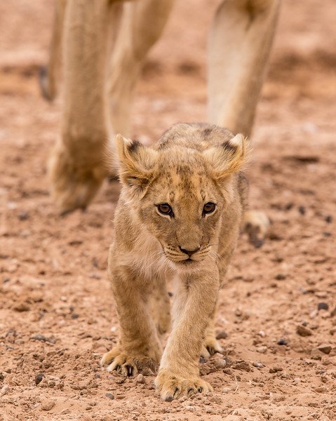 Tiny lion cub leading the way, Kalahari Desert