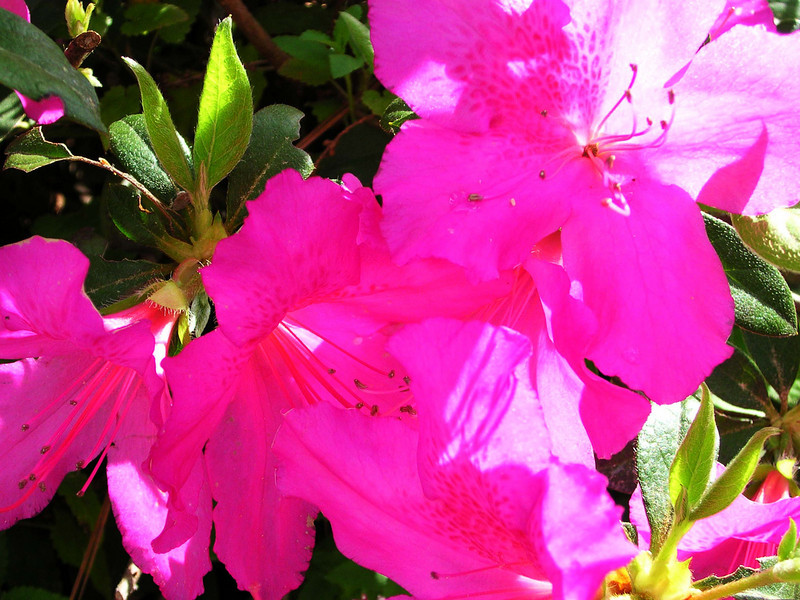 carolina flower 061.jpg
