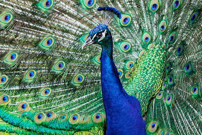 Peacock: 2020