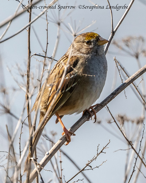 _DSC3665Golden crown Sparrow.jpg
