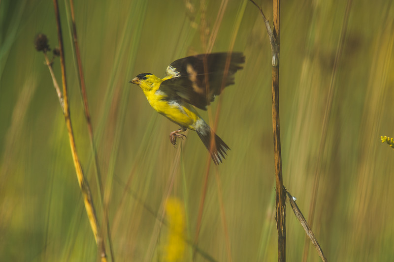 An American Goldfinch at the Celery Bog in West Lafayette, IN