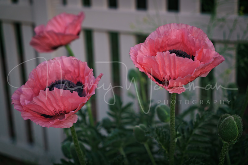 Dusty Rose Poppies