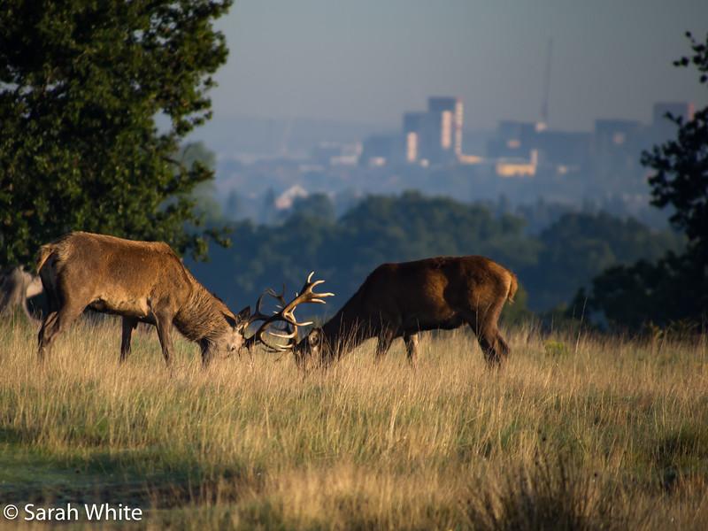 Deer rut_260915_227.jpg