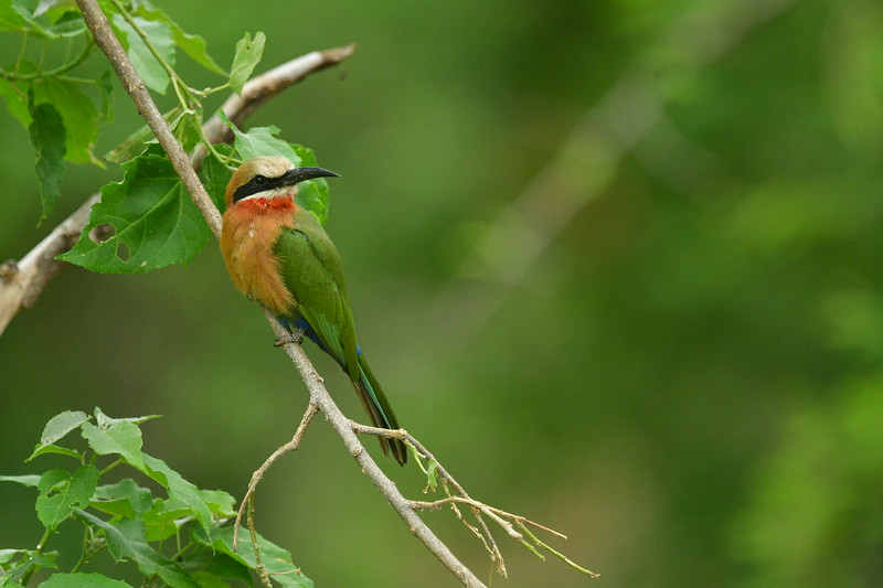 White-fronted Bee-eater Side-angle