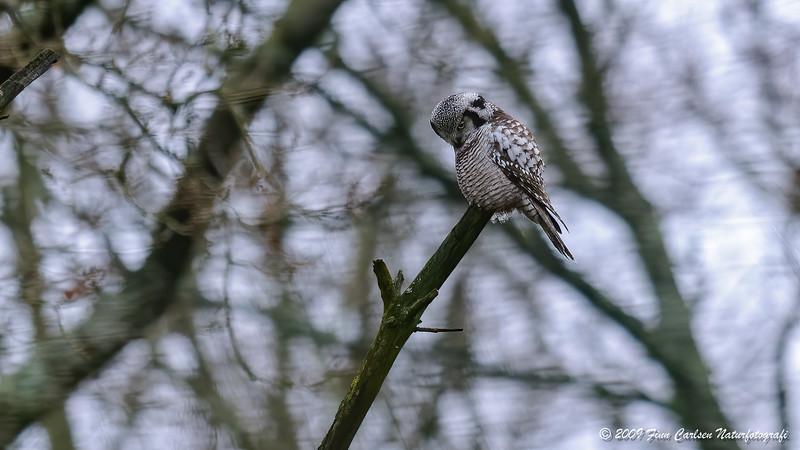 Høgeugle (Surnia ulula - Northern Hawk Owl)