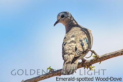 Emerald-spotted Wood-Dove, Kenya