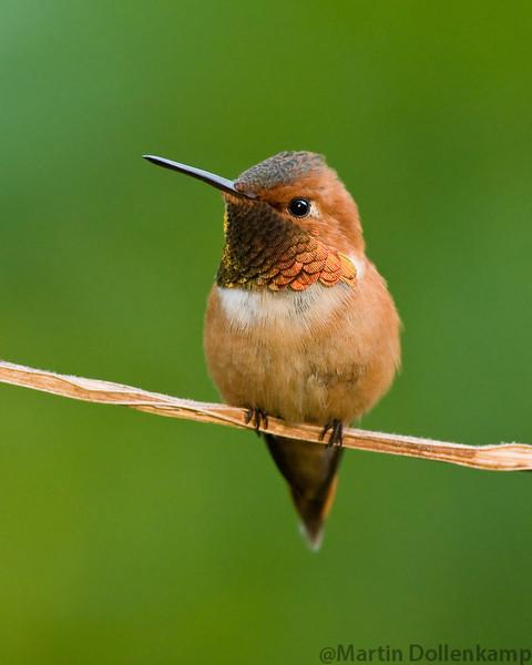Rufous Hummingbird Selasphorus rufous Adult male perched.