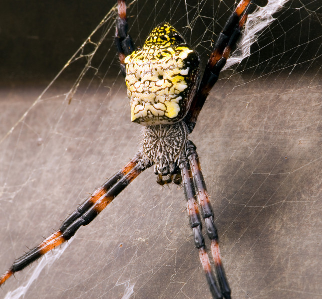 Nasty looking spider (in this case a female Argiope Appensa, also known as a banana spider) found hitching a ride on a pickup truck.  This was in Hilo, Hawaii (Big Island)
