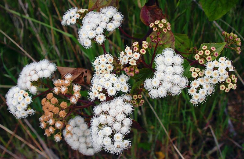 4730 Little White Flowers 2.jpg