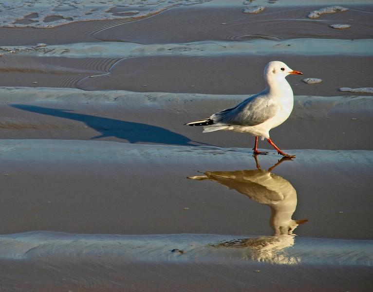 Black-headed Gull, Swanage