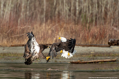 Skagit River Eagles