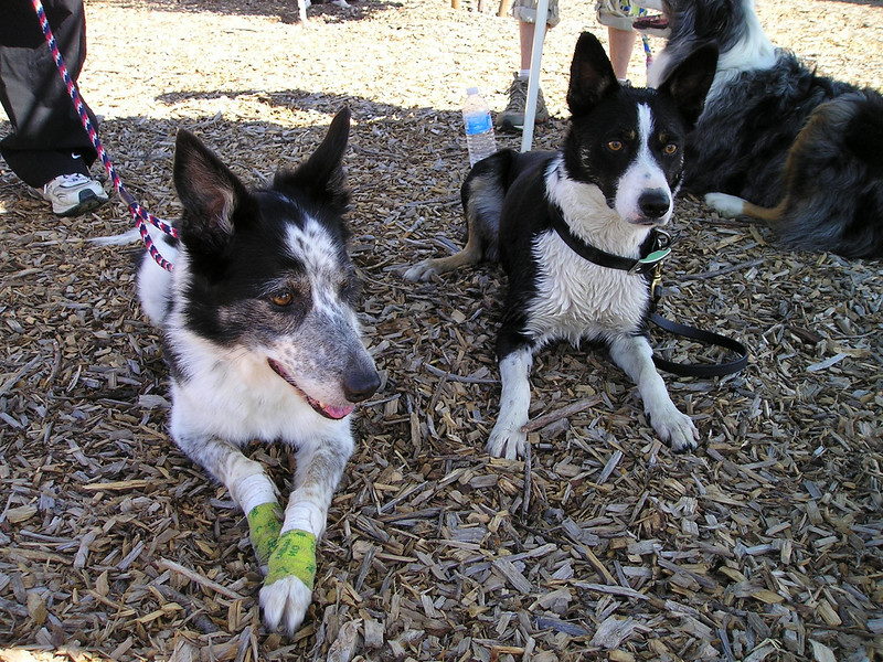 Boss [Chadwick] (right) with her dad's littermate, Marcus Topps' dog Juice.