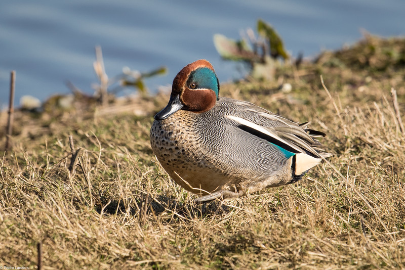 Another Green Winged Teal