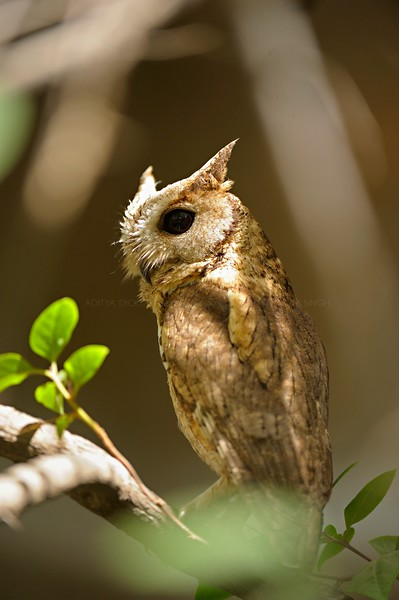 Collared Scops Owl (Otus lettia) in Ranthambhore