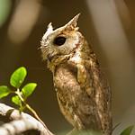 Collared Scops Owl (Otus lettia) in Ranthambhore