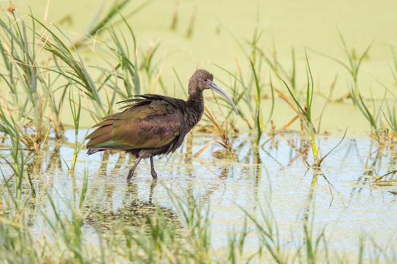 Glossy Ibis - Farmington Bay