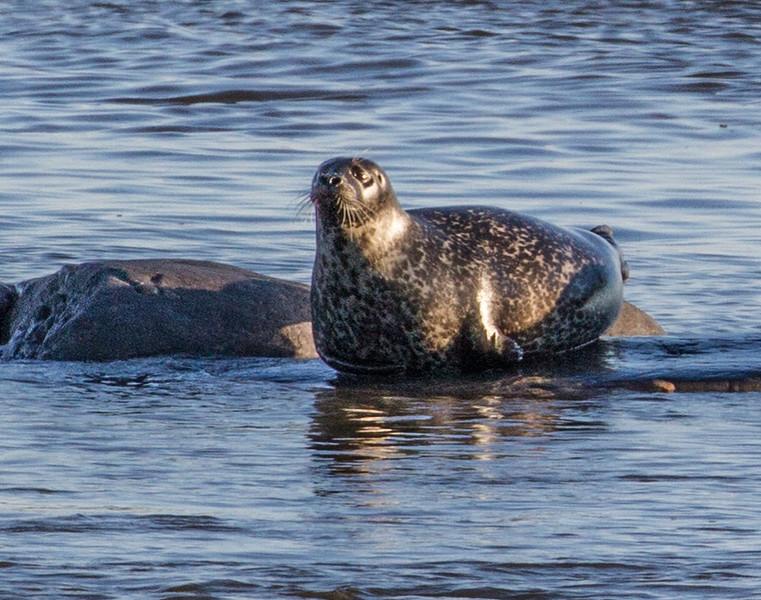 Harbor Seal Cape Merry Hudson Bay Churchill Manitoba Canada IMG_0215.jpg