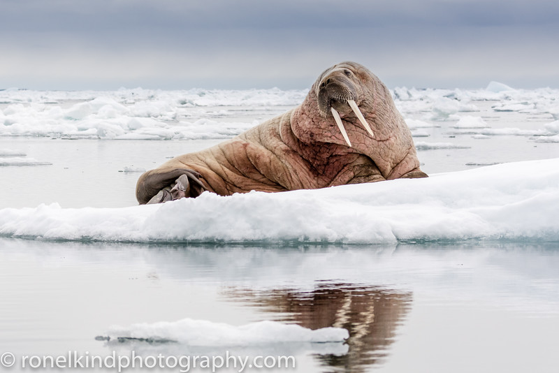 Bull Walrus on the pack ice