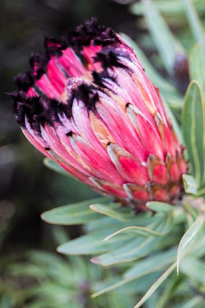 Protea_Neriifolia_Satin2-Edit.jpg