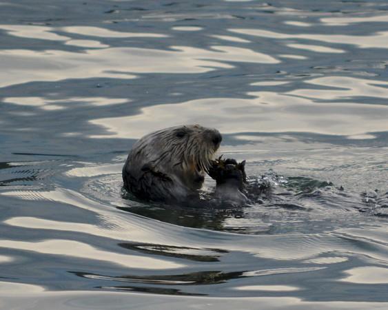 Sea Otter(s) at Sunny Cove