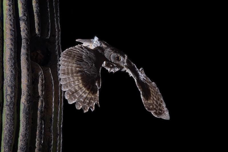 screech owl 1234.JPG