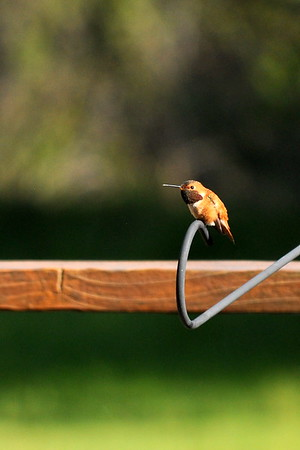 2018.04 California hummingbirds