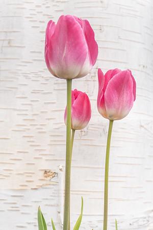 Skagit Valley Tulips 2021