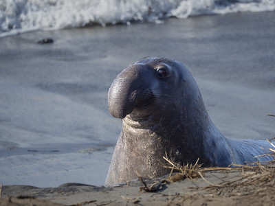 Elephant Seales